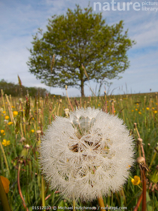 Dandelion (Taraxacum) seed head in grass meadow, Ashton Court, North Somerset, UK, May.  ,  high15,,Plant,Vascular plant,Flowering plant,Asterid,Dandelion,Plantae,Plant,Tracheophyta,Vascular plant,Magnoliopsida,Flowering plant,Angiosperm,Seed plant,Spermatophyte,Spermatophytina,Angiospermae,Asterales,Asterid,Dicot,Dicotyledon,Asteranae,Asteraceae,Compositae,Taraxacum,Dandelion,Colour,Yellow,Two,Nobody,Shape,Shapes,Circle,Europe,Western Europe,UK,Great Britain,England,Somerset,Vertical,Close Up,Portrait,Camera Focus,Selective Focus,Focus On Foreground,Focus On Foregrounds,Wildflower,Wildflowers,Grass Family,Grass,Grasses,Flower,Flowers,Seed Head,Seed Heads,Tree,Outdoors,Open Air,Outside,Day,Countryside,Grassland,Meadow,Meadows,Habitat,Shallow depth of field,Low depth of field,Two Objects,Plant Portrait,Yellow Colour,  ,  Michael Hutchinson