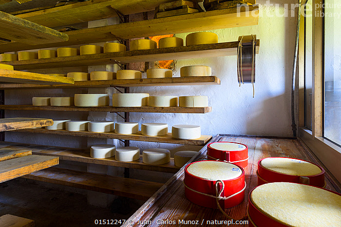 Cheese maturing on shelves in traditional dairy, Triglav National Park, Slovenia, October 2014.  ,  high15,,,Making,Order,Ordered,Organized,System,Systematic,Traditional,Group,Large Group,Nobody,Shape,Shapes,Circle,Europe,Southern Europe,Slovenia,Food,Dairy Product,Dairy Products,Cheese,Cheeses,Furnishing,Shelf,Shelves,Shelving,Farms,Dairy Farms,Wax,Indoors,Day,Reserve,Protected area,National Park,Local Industry,Large Group of Objects,Storing,Storage,Triglav National Park,Round of Cheese,  ,  Juan  Carlos Munoz