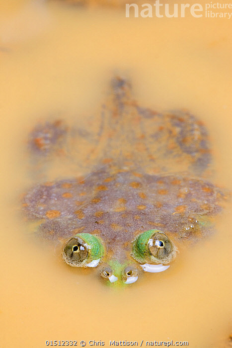 Budgett's Frog (Lepidobatrachus laevis) mostly submerged in muddy water, with eyes visible above water, captive, occurs in South America.  ,  high15,,Animal,Vertebrate,Frog,Budgett's frog,Budgett frog,Animalia,Animal,Wildlife,Vertebrate,Amphibia,Anura,Frog,Ceratophryidae,Lepidobatrachus,Budgett's frog,Lepidobatrachus laevis,Budgett frog,Hiding,Bizarre,Weird,Caution,Cautious,Nobody,Latin America,South America,Vertical,Animal Eye,Animal Eyes,Eye,Eyes,Mud,Muddy,Outdoors,Open Air,Outside,Day,Freshwater,Water,Murky,Amphibian,Submerging,Protruding Eyes,  ,  Chris  Mattison
