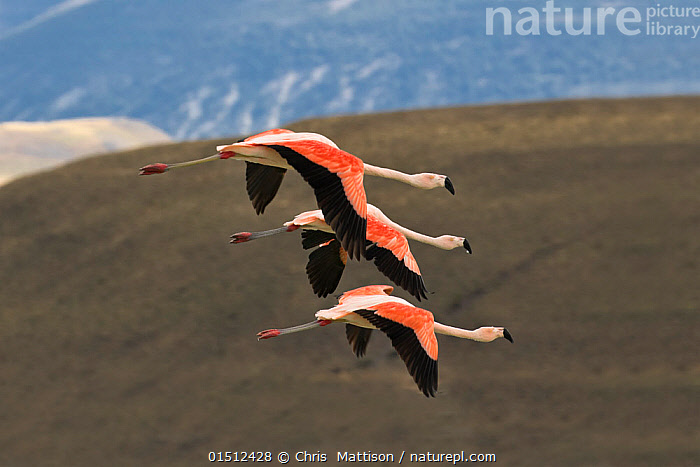 Chilean flamingos (Phoenicopterus chilensis) group of three in flight, Lago Amarga , Torres del Paine National Park, Patagonia, Chile., high15,,Animal,Vertebrate,Bird,Birds,Flamingo,Chilean flamingo,Animalia,Animal,Wildlife,Vertebrate,Aves,Bird,Birds,Phoenicopteriformes,Flamingo,Phoenicopteridae,Phoenicopterus,Phoenicopterus chilensis,Chilean flamingo,Flying,Direction,Same,Togetherness,Close,Together,Unity,Above,Few,Three,Group,Nobody,Latin America,South America,Chile,Patagonia,Profile,Side View,Hill,Hills,Hillside,Hillsides,Outdoors,Open Air,Outside,Day,Grassland,Steppe,Reserve,Protected area,National Park,Flight,Three Animals,Purpose,Torres del Paine,Torres del Paine National Park,Lago Amarga,, Chris  Mattison