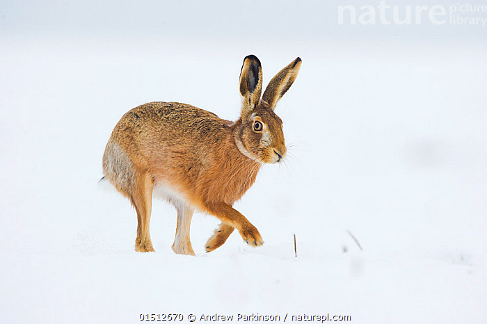 Brown hare (Lepus europaeus) adult walking across a snow covered field. Derbyshire, UK, January., high15,,Animal,Vertebrate,Mammal,Lagomorph,Leporid,Hare,Brown Hare,Animalia,Animal,Wildlife,Vertebrate,Mammalia,Mammal,Lagomorpha,Lagomorph,Leporidae,Leporid,Lepus,Hare,Lepus europaeus,Brown Hare,European Brown Hare,European Hare,Eulagos europaeus,Running,Walking,Positioning,Placing,Position,Caution,Cautious,Colour,Brown,Nobody,Temperature,Cold,Europe,Western Europe,UK,Great Britain,England,Derbyshire,Copy Space,Portrait,Ear,Animal Ears,Ears,Cultivated Land,Fields,Snow,Outdoors,Open Air,Outside,Winter,Day,Farmland,Negative space,Moving,Ears Pricked,Brown Colour,, Andrew Parkinson
