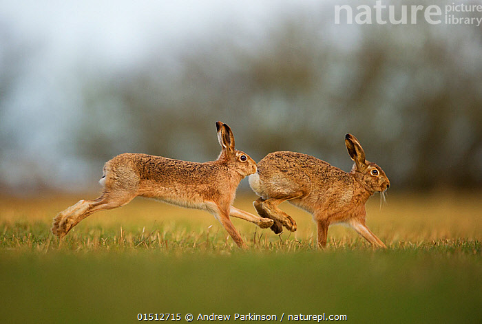 Brown hare (Lepus europaeus) adult male pursuing female, Derbyshire, UK, February., high15,,Animal,Vertebrate,Mammal,Lagomorph,Leporid,Hare,Brown Hare,Animalia,Animal,Wildlife,Vertebrate,Mammalia,Mammal,Lagomorpha,Lagomorph,Leporidae,Leporid,Lepus,Hare,Lepus europaeus,Brown Hare,European Brown Hare,European Hare,Eulagos europaeus,Moving After,Following,Follow,Follows,Running,Courting,Colour,Brown,Two,Nobody,Europe,Western Europe,UK,Great Britain,England,Derbyshire,Female animal,Male Animal,Cultivated Land,Fields,Outdoors,Open Air,Outside,Spring,Day,Nature,Natural,Natural World,Wild,Countryside,Animal Behaviour,Mating Behaviour,Courtship,Playing,Male female pair,Behaviour,Farmland,Play,Playful,Two animals,Moving,Brown Colour,, Andrew Parkinson