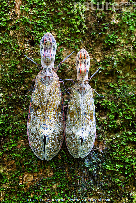 Lantern bugs (Fulgora laternaria) on tree trunk,  Panguana Reserve, Peru.  ,  high15,,Animal,Arthropod,Insect,True bug,Planthopper,Lanternfly,Lantern fly,Animalia,Animal,Wildlife,Hexapoda,Arthropod,Invertebrate,Hexapod,Arthropoda,Insecta,Insect,Hemiptera,True bug,Bug,Paraneoptera,Neoptera,Pterygota,Fulgoridae,Planthopper,Fulgoroidea,Fulgomorpha,Auchenorrhyncha,Fulgora,Lanternfly,Lantern fly,Fulgora laternaria,Peanut bug,Peanut head bug,Peanut headed lanternfly,Peanutheaded lanternfly,Alligator bug,Peanuthead bug,Machaca,Fulgora lanternaria,Cicada laternaria,Fulgore portelanterne,Waiting,Bizarre,Weird,Preparation,Partnership,Side By Side,Two,Nobody,Latin America,South America,Peru,Vertical,Close Up,Plant,Tree Trunk,Outdoors,Open Air,Outside,Day,Rainforest,Tropical rainforest,Reserve,Forest,Protected area,Two animals,Amazon,  ,  Konrad  Wothe