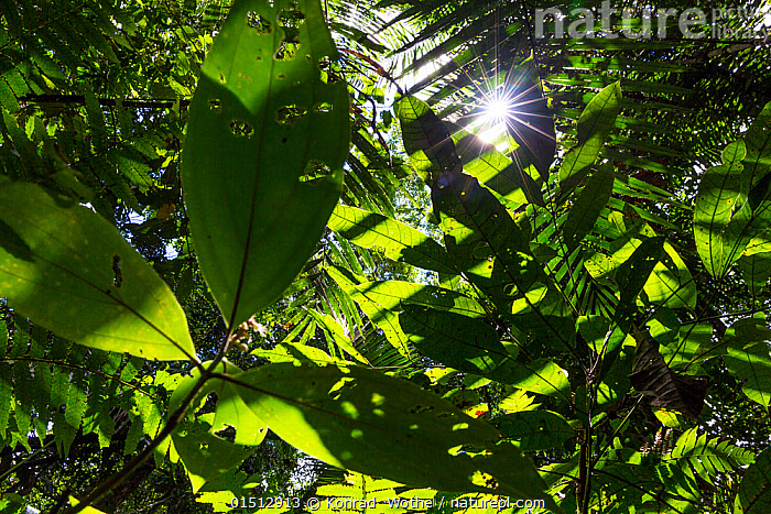 View up into canopy with sun rays shining through the leaves,  lowland rainforest, Panguana Reserve, Huanuco province, Amazon basin, Peru.  ,  high15,,,Variation,Colour,Green,Nobody,Pattern,Patterned,Patterns,Natural Pattern,Latin America,South America,Peru,Full Frame,Low Angle View,Lens Flare,Lens Flares,Back Lit,Backlit,Plant,Leaf,Foliage,Tree,Tree Canopy,Tree Canopies,Light,Lights,Sunlight,Outdoors,Open Air,Outside,Day,Backgrounds,Background,Rainforest,Tropical rainforest,Habitat,Reserve,Forest,Protected area,Green colour,Amazon,Biodiversity,Verdant,Divine,Lowland,,,Beauty in nature,,,beauty in nature,  ,  Konrad  Wothe