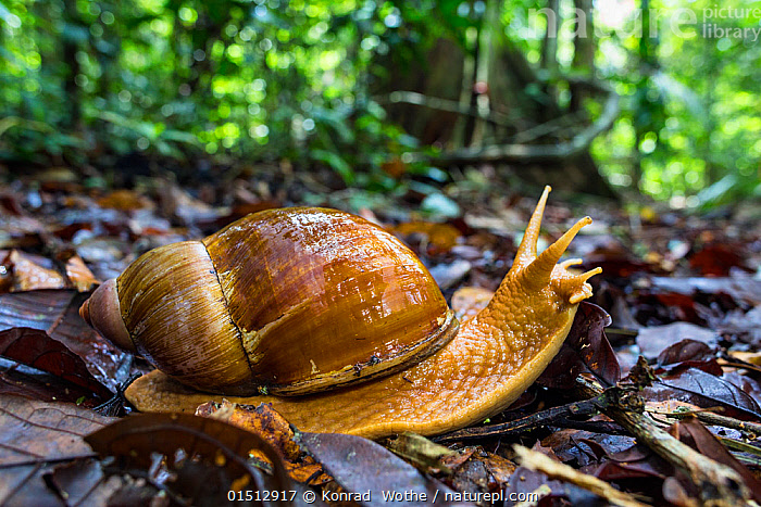 Giant land snail (Megalobulimus sp), Panguana Reserve, Huanuco province, Amazon basin, Peru.  ,  high15,,Animal,Mollusc,Gastropod,Animalia,Animal,Wildlife,Mollusca,Mollusc,Gastropoda,Gastropod,Nobody,Wet,Size,Giant,Huge,Massive,Latin America,South America,Peru,Profile,Side View,Plant,Leaf,Foliage,Antennae,Outdoors,Open Air,Outside,Day,Woodland,Rainforest,Tropical rainforest,Reserve,Forest,Protected area,Sensory organ,Forest floor,Amazon,Fallen Leaves,Acavoidea,Strophocheilidae,Megalobuliminae,Megalobulimus,Bipectinate Antenna,Antenna,Panguana Reserve,Invertebrate,Invertebrates  ,  Konrad  Wothe