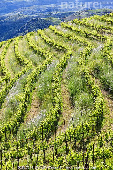 Vineyard landscape, Planes del Priorat Area of Natural Interest, Tarragona, Catalonia,Spain, May 2013., catalogue8,,Plant,Vascular plant,Flowering plant,Rosid,Grape,Grape vine,Plantae,Plant,Tracheophyta,Vascular plant,Magnoliopsida,Flowering plant,Angiosperm,Seed plant,Spermatophyte,Spermatophytina,Angiospermae,Vitales,Rosid,Dicot,Dicotyledon,Rosanae,Vitaceae,Grape,Vitidaceae,Vitis,Vitis vinifera,Grape vine,Wine grape vine,Common grape vine,Cissus vinifera,Vitis sylvestris,Colour,Green,Nobody,Pattern,Patterned,Patterns,Europe,Southern Europe,Iberian Peninsula,Spain,Catalonia,Vertical,High Angle View,Buckthorn Order,Rhamnale,Rhamnales,Grape Family,Vitaceae Family,Grape Plant,Grape Plants,Grape Vine,Grape Vines,Cultivated,Cultivation,Vine,Climbing Plant,Climbing Plants,Vines,Cultivated Land,Terraced Fields,Hill,Hills,Hillside,Hillsides,Landscape,Landscapes,Outdoors,Open Air,Outside,Day,Agriculture,Countryside,Farmland,Elevated view,Green colour,Progression,Lined up,Tarragona,Planes del Priorat,Climber,Climbers, Juan Manuel Borrero