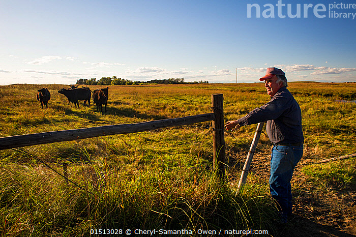 Lynn Ballagh closing gate on his cattle ranch, Sandhills of Nebraska, Garfield County, Nebraska, USA., American,People,Man,Agricultural Occupation,Farmer,North America,USA,Midwest,Nebraska,Animal,Boundary,Gate,Gates,Gateway,Gateways,Farms,Cattle Station,Cattle Stations,Ranches,Landscape,Landscapes,Livestock,Grassland,Prairie,Domestic animal,Cattle,Cows,Bos taurus,American,Mammal,, Cheryl-Samantha  Owen