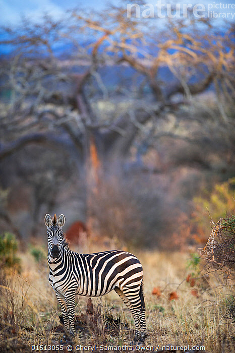 Common or plains zebra (Equus quagga burchelli) grazing in bushTarangire National Park, Northern Tanzania., catalogue8,,Animal,Vertebrate,Mammal,Odd toed ungulate,Common Zebra,Animalia,Animal,Wildlife,Vertebrate,Mammalia,Mammal,Perissodactyla,Odd toed ungulate,Equidae,Equus,Equus quagga,Common Zebra,Burchell's Zebra,Painted Zebra,Plains Zebra,Equus burchelli,Standing,Alertness,Alert,Nobody,Dry,Arid,Pattern,Patterned,Patterns,Stripes,Africa,East Africa,Tanzania,Side View,Portrait,Plant,Bush,Bushes,Shrub,Shrubs,Tree,Bare Tree,Bare Trees,Outdoors,Open Air,Outside,Day,Nature,Natural,Natural World,Wild,Savanna,Direct Gaze,Aware,Questioning,Animal portrait,Tarangire National Park (Tanzania),, Cheryl-Samantha  Owen