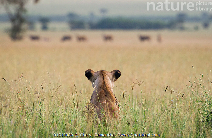 African lioness (Panthera leo) sitting patiently in the long grass, watching herd of Common eland (Tragelaphus oryx). Focus on lion. Grumeti Reserve, Northern Tanzania., Animal,Vertebrate,Mammal,Carnivore,Cat,Big cat,Bovid,Eland,Lion,Animalia,Animal,Wildlife,Vertebrate,Mammalia,Mammal,Carnivora,Carnivore,Felidae,Cat,Panthera,Big cat,Panthera leo,Artiodactyla,Even-toed ungulates,Bovidae,Bovid,ruminantia,Ruminant,Taurotragus,Eland,Antelopes,Taurotragus oryx,Tragelaphus oryx,Africa,East Africa,Tanzania,Rear View,Camera Focus,Selective Focus,Grassland,Savanna,Lion,Shallow depth of field,Low depth of field, Cheryl-Samantha  Owen