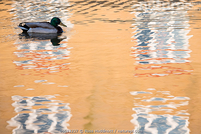 Mallard duck (Anas platyrhynchos) drake swimming through reflection of house, Bude canal, Cornwall, UK. April 2015., catalogue8,,Animal,Vertebrate,Bird,Birds,Water fowl,Waterfowl,Dabbling duck,Mallard,Animalia,Animal,Wildlife,Vertebrate,Aves,Bird,Birds,Anseriformes,Water fowl,Galloanserans,Waterfowl,Anatidae,Anas,Dabbling duck,Anatinae,Anas platyrhynchos,Mallard,Anas boschas,Swimming,Patience,Alone,Solitude,Solitary,Nobody,Europe,Western Europe,UK,Great Britain,England,Cornwall,Profile,Side View,Male Animal,Drake,Drakes,Building,Residential Structure,House,Houses,Window,Reflection,Canal,Canals,Waterway,Waterways,Outdoors,Open Air,Outside,Day,Nature,Natural,Natural World,Wild,Freshwater,Water,Arty shots,Negative space,Bude Canal,Wildfowl,Duck,Ducks, Ross Hoddinott