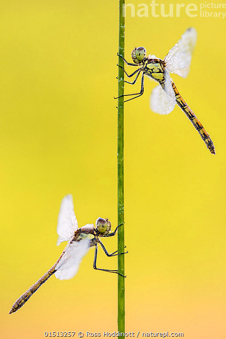 Common darter dragonflies (Sympetrum striolatum) two females resting on reed, Dunsdon Nature Reserve, Devon, UK. August.  ,  catalogue8,,Animal,Arthropod,Insect,Pterygota,Skimmer,Darter,Common darter,Animalia,Animal,Wildlife,Hexapoda,Arthropod,Invertebrate,Hexapod,Arthropoda,Insecta,Insect,Odonata,Pterygota,Libellulidae,Skimmer,Skimmer dragonfly,Dragonfly,Anisoptera,Epiprocta,Sympetrum,Darter,Meadowhawk,Sympetrum striolatum,Common darter,Sympetrum ornatum,Resting,Rest,Balance,Contrasts,Opposites,Direction,Two,Nobody,Europe,Western Europe,UK,Great Britain,England,Devon,Coloured Background,Yellow Background,Copy Space,Profile,Vertical,Side View,Female animal,Plant,Grass Family,Reed,Reeds,Stem,Wing,Wings,Weather,Dew,Outdoors,Open Air,Outside,Day,Nature,Natural,Natural World,Wild,Arty shots,Two animals,Negative space,Purpose,  ,  Ross Hoddinott