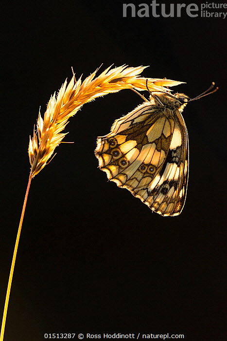 Marbled white butterfly (Melanargia galathea) resting on grass head, backlit against black background, Dunsdon, Devon, UK. July 2014  ,  catalogue8,,Animal,Arthropod,Insect,Brushfooted butterfly,Marbled white,Animalia,Animal,Wildlife,Hexapoda,Arthropod,Invertebrate,Hexapod,Arthropoda,Insecta,Insect,Lepidoptera,Lepidopterans,Nymphalidae,Brushfooted butterfly,Fourfooted butterfly,Nymphalid,Butterfly,Papilionoidea,Melanargia,Marbled white,Satyrine,Satyrid,Brown,Satyrinae,Melanargia galathea,Papilio galathea,Resting,Rest,Upside Down,Inverted,Upturned,Nobody,Pattern,Patterned,Patterns,Weight,Europe,Western Europe,UK,Great Britain,England,Devon,Cutout,Plain Background,Black Background,Profile,Vertical,Side View,Back Lit,Backlit,Plant,Grass Family,Grass,Grasses,Stem,Wing,Wings,Outdoors,Open Air,Outside,Day,Arty shots,Animal marking,  ,  Ross Hoddinott