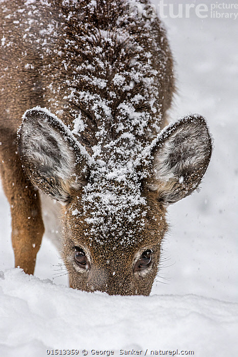 White-tailed deer (Odocoileus virginianus) female grazing in snow,  Acadia National Park, Maine, USA. February., catalogue8,,Animal,Vertebrate,Mammal,Deer,Key Deer,American,Animalia,Animal,Wildlife,Vertebrate,Mammalia,Mammal,Artiodactyla,Even-toed ungulates,Cervidae,Deer,True deer,ruminantia,Ruminant,Odocoileus,Odocoileus virginianus,Key Deer,White-tailed Deer,Crouching,Alertness,Alert,Care,Caring,Gentleness,Gently,Resilience,Resilient,Nobody,Temperature,Cold,North America,USA,Eastern USA,New England,Maine,Close Up,Portrait,Female animal,Ear,Animal Ears,Ears,Animal Eye,Animal Eyes,Eye,Eyes,Hair,Fur,Snow,Outdoors,Open Air,Outside,Winter,Day,Nature,Natural,Natural World,Wild,Feeding,Grazing,Reserve,Protected area,National Park,Acadia National Park,American,Animal Hair,United States of America,, George  Sanker