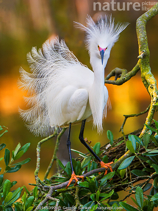 Snowy egret (Egretta thula) with plumes erect, St. Augustine, Florida, USA, April., catalogue8,,Animal,Vertebrate,Bird,Birds,True egret,Snowy egret,American,Animalia,Animal,Wildlife,Vertebrate,Aves,Bird,Birds,Pelecaniformes,Ardeidae,Egretta,True egret,Heron,Ardeinae,Egretta thula,Snowy egret,Surprise,Eccentric,Eccentricity,Colour,White,Nobody,Fluffy,North America,USA,Southern USA,Southeast US,Florida,Full Length,Full Lengths,Whole,Front View,View From Front,Feather,Feathers,Outdoors,Open Air,Outside,Day,Nature,Natural,Natural World,Wild,Plumage,Direct Gaze,White colour,American,United States of America,St Augustine,, George  Sanker