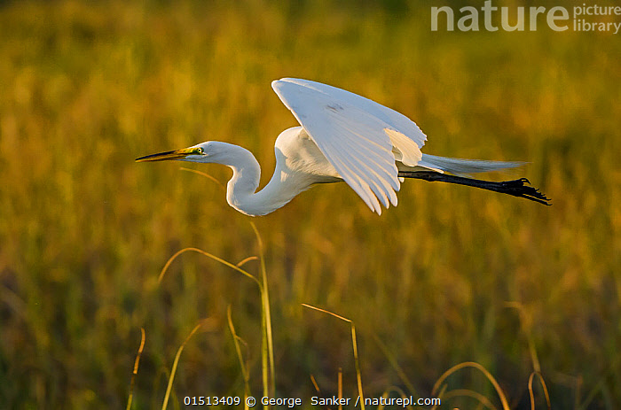 Great egret (Ardea alba) in flight, Florida, USA, March., high15,,Animal,Vertebrate,Bird,Birds,Typical heron,Great egret,American,Animalia,Animal,Wildlife,Vertebrate,Aves,Bird,Birds,Pelecaniformes,Ardeidae,Ardea,Typical heron,Heron,Ardeinae,Ardea alba,Great egret,Great white egret,Large egret,Great white heron,Casmerodius albus,Egretta alba,Flying,Determination,Focus,Direction,Speed,Colour,White,Nobody,North America,USA,Southern USA,Southeast US,Florida,Profile,Side View,Animal Necks,Neck,Necks,Light,Lights,Sunlight,Sunset,Setting Sun,Sunsets,Outdoors,Open Air,Outside,Day,Dusk,Flight,White colour,Purpose,Focused,American,Jalohaikara,United States of America,, George  Sanker