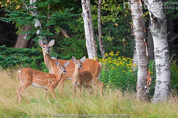 White-tailed deer (Odocoileus virginianus) mother with fawn. Acadia National Park, Maine, USA, September., high15,,Animal,Vertebrate,Mammal,Deer,Key Deer,American,Animalia,Animal,Wildlife,Vertebrate,Mammalia,Mammal,Artiodactyla,Even-toed ungulates,Cervidae,Deer,True deer,ruminantia,Ruminant,Odocoileus,Odocoileus virginianus,Key Deer,White-tailed Deer,Glance,Glances,Glancing,Look Away,Looks Away,Sibling,Siblings,Alertness,Alert,Togetherness,Close,Together,Few,Three,Group,Nobody,North America,USA,Eastern USA,New England,Maine,Young Animal,Juvenile,Babies,Baby Mammal,Fawn,Plant,Tree Trunk,Outdoors,Open Air,Outside,Day,Woodland,Reserve,Forest,Family,Mother baby,Mother-baby,mother,Protected area,National Park,Acadia National Park,Parent baby,Three Animals,American,United States of America,, George  Sanker