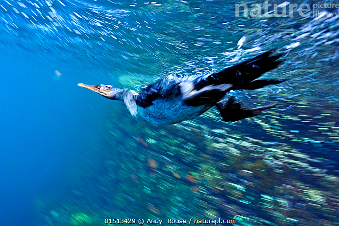 Galapagos flightless cormorant (Phalacrocorax harrisi) diving for fish underwater, Galapagos.  ,  catalogue8,,Animal,Vertebrate,Bird,Birds,Phalacrocoraciformes,Cormorant,Flightless cormorant,Animalia,Animal,Wildlife,Vertebrate,Aves,Bird,Birds,Suliformes,Phalacrocoraciformes,Phalacrocoracidae,Cormorant,Phalacrocorax,Phalacrocorax harrisi,Flightless cormorant,Galapagos cormorant,Diving,Determination,On The Move,Speed,Nobody,Streamlined,Latin America,South America,Galapagos Islands,Galapagos,The Galapagos,The Galapagos Islands,Side View,Photographic Effect,Blurred Motion,Blurred Movement,Tropical,Hunting,Marine,Underwater,Water,Saltwater,Tropics,Biodiversity hotspot,Moving,Sealife,Seabird,Seabirds,Marine bird,Marine birds,Pelagic bird,Pelagic birds,Endangered species,threatened,Vulnerable,Flightless  ,  Andy  Rouse