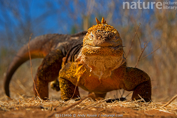 Galapagos land iguana (Conolophus subcristatus) walking towards camera, Urbina Bay, Isabela Island, Galapagos.  ,  high15,,Animal,Vertebrate,Reptile,Squamate,Iguana,Common Land Iguana,Animalia,Animal,Wildlife,Vertebrate,Reptilia,Reptile,Squamata,Squamate,Iguanidae,Iguana,Lizard,Conolophus,Conolophus subcristatus,Common Land Iguana,Galapagos Land Iguana,Amblyrhynchus subcristatus,Trachycephalus subcristatus,Amblyrhynchus Demarlii,Walking,Happiness,Nobody,Facial Expression,Smiling,Latin America,South America,Galapagos Islands,Galapagos,The Galapagos,The Galapagos Islands,Close Up,Front View,View From Front,Scale,Animal Scale,Scaly,Outdoors,Open Air,Outside,Day,Biodiversity hotspot,Direct Gaze,Isabela Island,Urbina Bay,Endangered species,threatened,Vulnerable  ,  Andy  Rouse