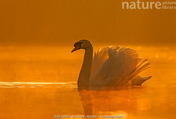 Mute swan (Cygnus olor) with wings raised defensively at sunrise, Wales, UK, April.  ,  high15,,Animal,Vertebrate,Bird,Birds,Water fowl,Waterfowl,True swan,Mute swan,Animalia,Animal,Wildlife,Vertebrate,Aves,Bird,Birds,Anseriformes,Water fowl,Galloanserans,Waterfowl,Anatidae,Cygnus,True swan,Swan,Cygninae,Anserinae,Cygnus olor,Mute swan,Thinking,Thoughtful,Waiting,Comprehension,Understand,Atmospheric Mood,Atmospheric,Morning,Mornings,Patience,Alone,Silence,Quiet,Solitude,Solitary,Colour,Golden,Orange,Nobody,Pastel,Europe,Western Europe,UK,Great Britain,Wales,Copy Space,Profile,Side View,Wing,Wings,Sunrise,Outdoors,Open Air,Outside,Day,Freshwater,Lake,Water,Animal Behaviour,Aggression,Behaviour,Dawn,Negative space,Contemplation,Beginnings,Wings Up,Wildfowl  ,  Andy  Rouse