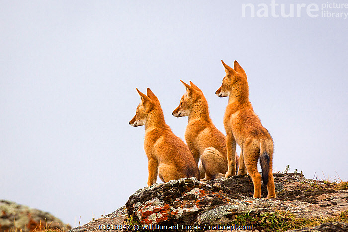Three Ethiopian wolf (Canis simensis) pups waiting for their parents to return, Ethiopia., high15,,Animal,Vertebrate,Mammal,Carnivore,Canid,Ethiopian Wolf,Animalia,Animal,Wildlife,Vertebrate,Mammalia,Mammal,Carnivora,Carnivore,Canidae,Canid,Canis,Canis simensis,Ethiopian Wolf,Simien Fox,Simien Jackal,Waiting,Sibling,Siblings,Alertness,Alert,Anticipation,Few,Three,Group,Nobody,Shape,Shapes,Outline,Body Outlines,Contour,Contour Line,Contour Lines,Contours,Outlines,Africa,East Africa,Ethiopia,Copy Space,Profile,Side View,Young Animal,Juvenile,Babies,Baby Mammal,Pup,Pups,Ear,Animal Ears,Ears,Hill,Hills,Hillside,Hillsides,Rock,Sky,Clear Sky,Landscapes,Outdoors,Open Air,Outside,Day,Family,Sentry behaviour,Negative space,Three Animals,Ears Pricked,Hilltop,Endangered species,threatened,Endangered, Will Burrard-Lucas