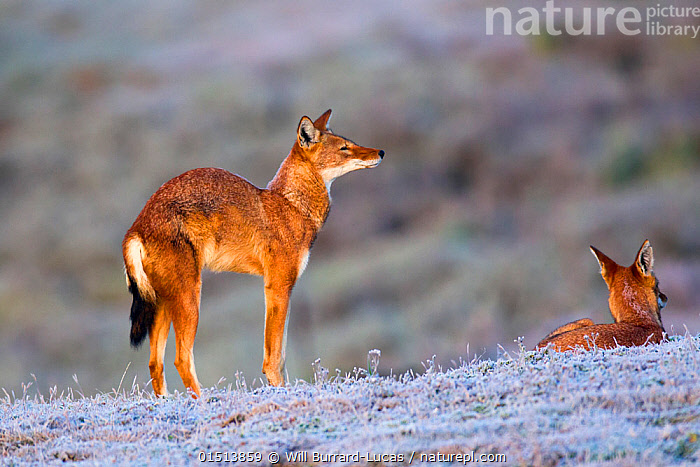 Ethiopian wolf (Canis simensis) stretching as it wakes up, Web Valley, Ethiopia.  ,  high15,,Animal,Vertebrate,Mammal,Carnivore,Canid,Ethiopian Wolf,Animalia,Animal,Wildlife,Vertebrate,Mammalia,Mammal,Carnivora,Carnivore,Canidae,Canid,Canis,Canis simensis,Ethiopian Wolf,Simien Fox,Simien Jackal,Stretching,Standing,Waking Up,Waking,Satisfaction,Two,Nobody,Africa,East Africa,Ethiopia,Full Length,Full Lengths,Whole,Side View,Animal Backs,Back,Backs,Weather,Frost,Landscapes,Outdoors,Open Air,Outside,Day,Cold Weather,Two animals,Hunched,Web Valley,Endangered species,threatened,Endangered  ,  Will Burrard-Lucas