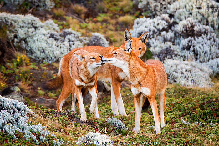 Ethiopian wolves (Canis simensis) individual from the BBC pack greeting each other after returning from hunting, Ethiopia., high15,,Animal,Vertebrate,Mammal,Carnivore,Canid,Ethiopian Wolf,Animalia,Animal,Wildlife,Vertebrate,Mammalia,Mammal,Carnivora,Carnivore,Canidae,Canid,Canis,Canis simensis,Ethiopian Wolf,Simien Fox,Simien Jackal,Greeting,Friendship,Trust,Trustful,Trusting,Few,Three,Group,Nobody,Affectionate,Affection,Africa,East Africa,Ethiopia,Outdoors,Open Air,Outside,Day,Three Animals,Endangered species,threatened,Endangered, Will Burrard-Lucas