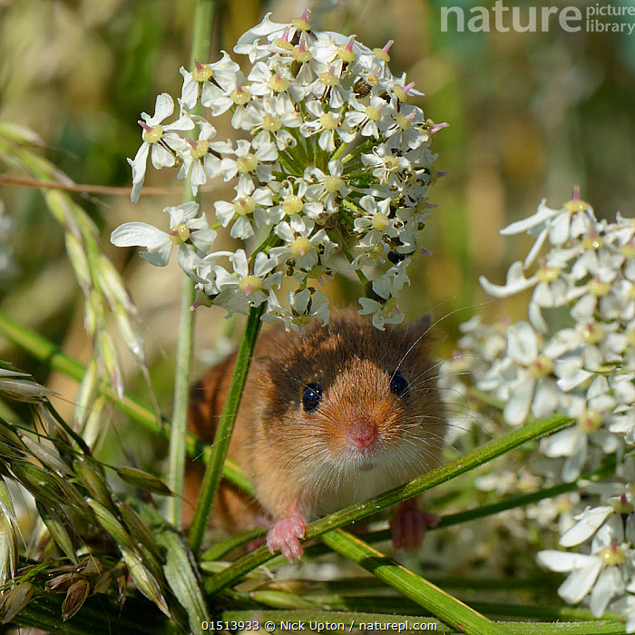 Harvest mouse (Micromys minutus) on Common hogweed (Heracleum sphondylium) flowerhead after release, Moulton, Northampton, UK, June., high15,,Plant,Vascular plant,Flowering plant,Asterid,Carrot family,Cow parsnip,Eltrot,Animal,Vertebrate,Mammal,Rodent,Mouse,Eurasian Harvest Mouse,Plantae,Plant,Tracheophyta,Vascular plant,Magnoliopsida,Flowering plant,Angiosperm,Seed plant,Spermatophyte,Spermatophytina,Angiospermae,Apiales,Asterid,Dicot,Dicotyledon,Asteranae,Apiaceae,Carrot family,Parsley family,Umbelliferae,Heracleum,Cow parsnip,Cowparsnip,Heracleum sphondylium,Eltrot,Common hogweed,Animalia,Animal,Wildlife,Vertebrate,Mammalia,Mammal,Rodentia,Rodent,Muridae,Micromys,Mouse,Micromys minutus,Eurasian Harvest Mouse,Harvest Mouse,Releasing,Sheltering,Caution,Cautious,Cute,Adorable,Friendship,Research,Researching,Colour,White,Nobody,Shy,Europe,Western Europe,UK,Great Britain,England,Northamptonshire,Northampton,Portrait,Flower,Flowers,Outdoors,Open Air,Outside,Summer,Day,Science,Conservation,Wildlife conservation,Reintroduction,Reintroduced,Direct Gaze,White colour,Flowerhead,Moulton,, Nick Upton