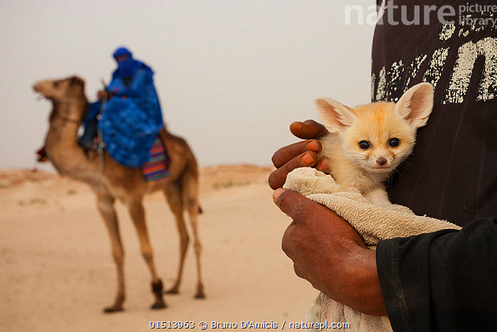 Fennec fox (Vulpes zerda) few-weeks old pup caught in the wild and shown at a famous camel trekking site for tourists in the hope of either selling it or being paid for photos, Kebili Governorate. Tunisia. April 2013.  ,  catalogue8,,Animal,Vertebrate,Mammal,Carnivore,Canid,True fox,Fennec fox,Camelid,Camel,Animalia,Animal,Wildlife,Vertebrate,Mammalia,Mammal,Carnivora,Carnivore,Canidae,Canid,Vulpes,True fox,Vulpini,Caninae,Vulpes zerda,Fennec fox,Fennecus zerda,Vulpes aurita,Vulpes fennecus,Artiodactyla,Even-toed ungulates,Camelidae,Camelid,Tylopoda,Camelus,Camel,People,Woman,Man,Trapped,Two,Africa,North Africa,Northern Africa,Tunisia,Camera Focus,Selective Focus,Focus On Foreground,Focus On Foregrounds,Young Animal,Juvenile,Babies,Baby Mammal,Pup,Pups,Hand,Desert,Deserts,Outdoors,Open Air,Outside,Day,Captivity,MS,Two animals,Direct Gaze,Shallow depth of field,Low depth of field,Animal Care,Kebili Region,Kebili Governorate,,,eye contact,  ,  Bruno D'Amicis