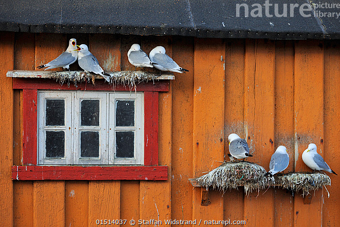 Kittiwakes (Rissa tridactyla) nesting on wall of house, Vardo town, Varanger Peninsula, Norway, March.  ,  high15,,Animal,Vertebrate,Bird,Birds,Gull,Kittiwake,Animalia,Animal,Wildlife,Vertebrate,Aves,Bird,Birds,Charadriiformes,Laridae,Gull,Seabird,Rissa,Kittiwake,Larinae,Rissa tridactyla,Black legged kittiwake,Larus tridactyla,Larus tridactylus,Rissa tridactylus,Sheltering,Below,Beneath,Under,Underneath,Group,Medium Group,Nobody,Europe,Northern Europe,North Europe,Nordic Countries,Scandinavia,Norway,Faeces,Guano,Animal Home,Building,Building Exterior,Residential Structure,House,Houses,Roof Element,Roof Elements,Eave,Eaves,Window,Nest,Nesting,Outdoors,Open Air,Outside,Day,Seagulls,Medium group of animals,Vardo,Finnmark,Varanger,  ,  Staffan Widstrand