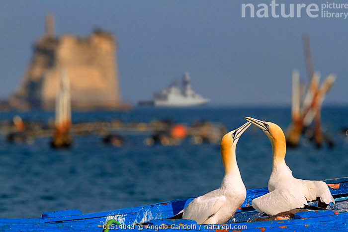 Gannets (Morus bassanus) courtship behavior on nest on abandoned boat, La Spezia Gulf, Italy. Mediterranean Sea. July., high15,,Animal,Vertebrate,Bird,Birds,Phalacrocoraciformes,Sulid,Gannet,Northern gannet,Animalia,Animal,Wildlife,Vertebrate,Aves,Bird,Birds,Suliformes,Phalacrocoraciformes,Sulidae,Sulid,Morus,Gannet,Morus bassanus,Northern gannet,North Atlantic gannet,Atlantic gannet,Sula bassana,Touching,Touch,Courting,Abandoned,Moored,Docked,Mooring,Moorings,Face To Face,Face Each Other,Facing Each Other,Two,Nobody,Affectionate,Affection,Europe,Southern Europe,Italy,Liguria,Camera Focus,Selective Focus,Focus On Foreground,Focus On Foregrounds,Beak,Beaks,Animal Home,Harbour,Building,Historic Building,Historic Buildings,Historical Building,Historical Buildings,Castle,Castles,Boat,Boats,Nest,Mediterranean Sea,Outdoors,Open Air,Outside,Day,Marine,Water,Animal Behaviour,Mating Behaviour,Courtship,Male female pair,Behaviour,Saltwater,Sea,Nature Reclamation,Nature taking over,Mediterranean,View to sea,Two animals,Shallow depth of field,Low depth of field,La Spezia,Seabird,Seabirds,Marine bird,Marine birds,Pelagic bird,Pelagic birds, Angelo Gandolfi