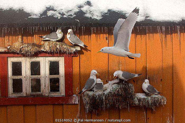 Kittiwake (Rissa tridactyla) breeding on house wall, Norway, March.  ,  catalogue8,,Animal,Vertebrate,Bird,Birds,Gull,Kittiwake,Animalia,Animal,Wildlife,Vertebrate,Aves,Bird,Birds,Charadriiformes,Laridae,Gull,Seabird,Rissa,Kittiwake,Larinae,Rissa tridactyla,Black legged kittiwake,Larus tridactyla,Larus tridactylus,Rissa tridactylus,Flying,Showing Off,Attention Seeking,Seeking Attention,Colour,Orange,Nobody,Temperature,Cold,Europe,Northern Europe,North Europe,Nordic Countries,Scandinavia,Norway,Animal Home,Building,Building Exterior,Residential Structure,House,Houses,Roof,Roofs,Rooftop,Rooftops,Nest,Snow,Outdoors,Open Air,Outside,Day,Nature,Natural,Natural World,Wild,Nature Reclamation,Nature taking over,Flight,Seagulls,Breeding,  ,  Pal Hermansen