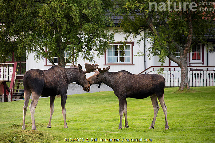 European moose (Alces alces) bulls near houses, Nordland, Norway. July., high15,,Animal,Vertebrate,Mammal,Deer,Moose,Eurasian Elk,Animalia,Animal,Wildlife,Vertebrate,Mammalia,Mammal,Artiodactyla,Even-toed ungulates,Cervidae,Deer,True deer,ruminantia,Ruminant,Alces,Moose,Alces alces,Eurasian Elk,Eurasian Moose,European Elk,Siberian Elk,Greeting,Standing,Touching,Touch,Etiquette,Friendship,Two,Nobody,Meeting,Europe,Northern Europe,North Europe,Nordic Countries,Scandinavia,Norway,Full Length,Full Lengths,Whole,Head To Head,Profile,Side View,Male Animal,Bull,Bulls,Grounds,Ground,Lawn,Lawns,Turf,Building,Building Exterior,Residential Structure,House,Houses,Outdoors,Open Air,Outside,Day,Nature Reclamation,Nature taking over,Two animals,Nordland,, Pal Hermansen