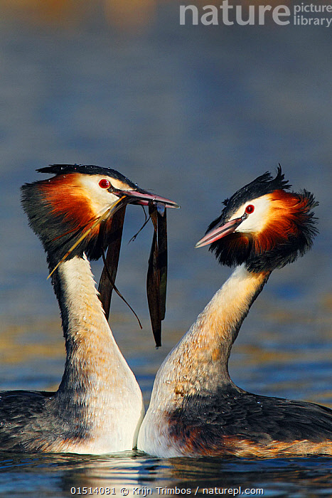 Great crested grebe (Podiceps cristatus) pair in 'weed dance' courtship display, The Netherlands, March.  ,  high15,,Animal,Vertebrate,Bird,Birds,Grebe,Great crested grebe,Wildfowl,Water fowl,Animalia,Animal,Wildlife,Vertebrate,Aves,Bird,Birds,Podicipediformes,Podicipedidae,Grebe,Podiceps,Podiceps cristatus,Great crested grebe,Giving,Give,Gives,Handing,Offer,Offering,Offers,Courting,Promise,Marriage,Marriages,Married,Marry,Romance,Romantic,Face To Face,Face Each Other,Facing Each Other,Two,Nobody,Facial Expression,Smiling,Europe,Western Europe,The Netherlands,Holland,Netherlands,Female animal,Male Animal,Animal Necks,Neck,Necks,Gift,Gifts,Presents,Outdoors,Open Air,Outside,Day,Wild,Freshwater,Lake,Water,Animal Behaviour,Mating Behaviour,Courtship,Display,Behaviour,Displaying,Two animals,Waterfowl,Wildfowl,Water fowl,  ,  Krijn Trimbos