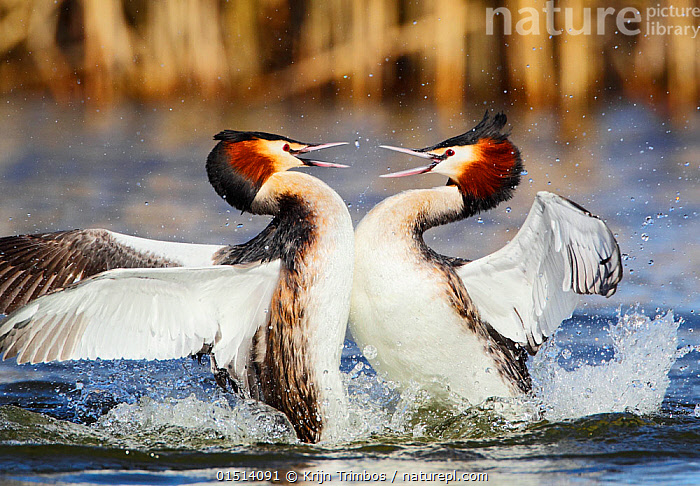 Great crested grebe (Podiceps cristatus) two in territorial fight, The Netherlands, March.  ,  catalogue8,,Animal,Vertebrate,Bird,Birds,Grebe,Great crested grebe,Wildfowl,Water fowl,Animalia,Animal,Wildlife,Vertebrate,Aves,Bird,Birds,Podicipediformes,Podicipedidae,Grebe,Podiceps,Podiceps cristatus,Great crested grebe,Arguing,Fighting,Splashing,Conflict,Face To Face,Face Each Other,Facing Each Other,Two,Nobody,Europe,Western Europe,The Netherlands,Holland,Netherlands,Head To Head,Profile,Close Up,Side View,Mouth,Outdoors,Open Air,Outside,Day,Nature,Natural,Natural World,Wild,Freshwater,Lake,Water,Animal Behaviour,Territorial,Aggression,Behaviour,Two animals,Open Mouth,Waterfowl,Wildfowl,Water fowl,  ,  Krijn Trimbos