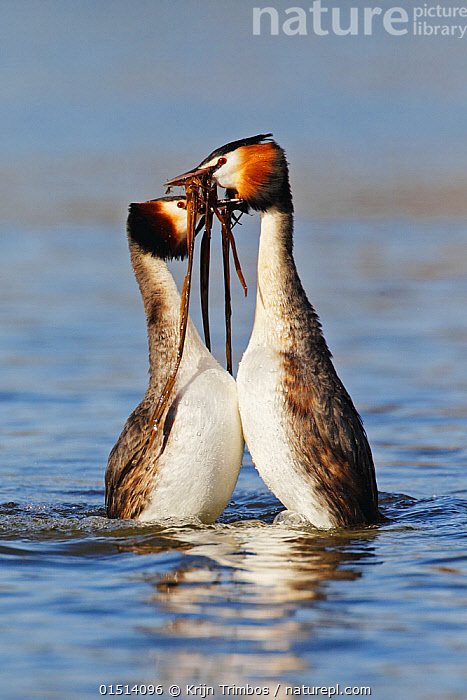 Great crested grebe (Podiceps cristatus) pair in 'weed dance' courtship display, The Netherlands. March.  ,  high15,,Animal,Vertebrate,Bird,Birds,Grebe,Great crested grebe,Wildfowl,Water fowl,Animalia,Animal,Wildlife,Vertebrate,Aves,Bird,Birds,Podicipediformes,Podicipedidae,Grebe,Podiceps,Podiceps cristatus,Great crested grebe,Splashing,Courting,Balance,Marriage,Marriages,Married,Marry,Face To Face,Face Each Other,Facing Each Other,Two,Nobody,Europe,Western Europe,The Netherlands,Holland,Netherlands,Female animal,Male Animal,Outdoors,Open Air,Outside,Day,Wild,Freshwater,Lake,Water,Animal Behaviour,Mating Behaviour,Courtship,Display,Male female pair,Behaviour,Displaying,Two animals,Surface,Waterfowl,Wildfowl,Water fowl,  ,  Krijn Trimbos