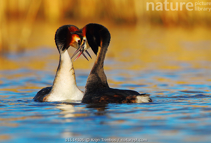 Great crested grebe (Podiceps cristatus) pair in courtship display, The Netherlands. March.  ,  high15,,Animal,Vertebrate,Bird,Birds,Grebe,Great crested grebe,Wildfowl,Water fowl,Animalia,Animal,Wildlife,Vertebrate,Aves,Bird,Birds,Podicipediformes,Podicipedidae,Grebe,Podiceps,Podiceps cristatus,Great crested grebe,Whisper,Touching,Touch,Courting,Friendship,Secrecy,Secret,Secrets,Face To Face,Face Each Other,Facing Each Other,Two,Nobody,Affectionate,Affection,Europe,Western Europe,The Netherlands,Holland,Netherlands,Female animal,Male Animal,Beak,Beaks,Outdoors,Open Air,Outside,Day,Wild,Freshwater,Lake,Water,Animal Behaviour,Mating Behaviour,Courtship,Display,Male female pair,Behaviour,Displaying,Two animals,Waterfowl,Wildfowl,Water fowl,Confidante,  ,  Krijn Trimbos