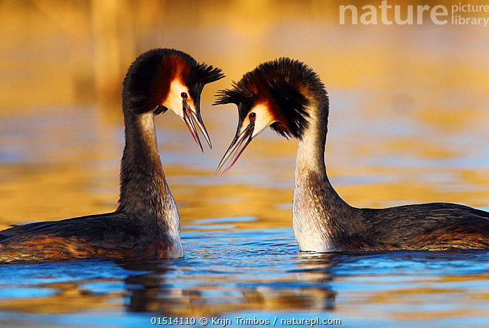 Great crested grebe (Podiceps cristatus) pair in courtship display, The Netherlands. March.  ,  high15,,Animal,Vertebrate,Bird,Birds,Grebe,Great crested grebe,Wildfowl,Water fowl,Animalia,Animal,Wildlife,Vertebrate,Aves,Bird,Birds,Podicipediformes,Podicipedidae,Grebe,Podiceps,Podiceps cristatus,Great crested grebe,Courting,Comprehension,Understand,Promise,Friendship,Tenderness,Tender,Face To Face,Face Each Other,Facing Each Other,Two,Nobody,Europe,Western Europe,The Netherlands,Holland,Netherlands,Profile,Side View,Female animal,Male Animal,Beak,Beaks,Outdoors,Open Air,Outside,Day,Wild,Freshwater,Lake,Water,Animal Behaviour,Mating Behaviour,Courtship,Display,Male female pair,Behaviour,Displaying,Two animals,Waterfowl,Wildfowl,Water fowl,Confidante,  ,  Krijn Trimbos