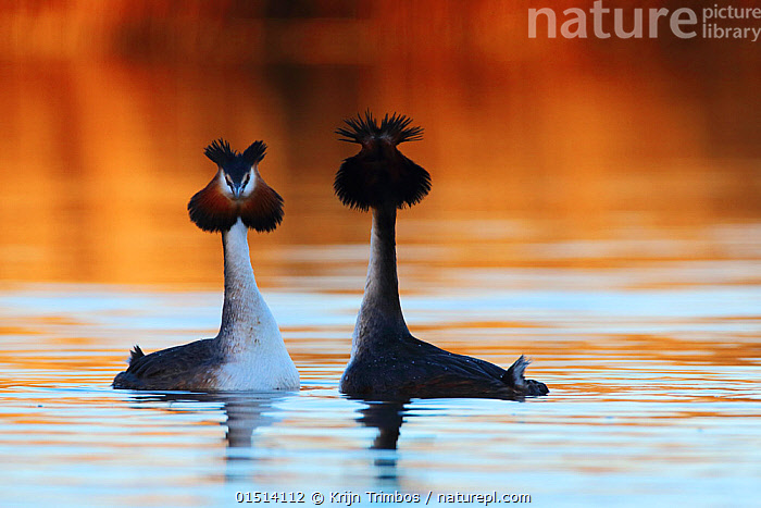 Great crested grebe (Podiceps cristatus) pair in courtship display, The Netherlands. March.  ,  high15,,Animal,Vertebrate,Bird,Birds,Grebe,Great crested grebe,Wildfowl,Water fowl,Animalia,Animal,Wildlife,Vertebrate,Aves,Bird,Birds,Podicipediformes,Podicipedidae,Grebe,Podiceps,Podiceps cristatus,Great crested grebe,Courting,Uncertain,Unsure,Face To Face,Face Each Other,Facing Each Other,Two,Nobody,Meeting,Europe,Western Europe,The Netherlands,Holland,Netherlands,Female animal,Male Animal,Outdoors,Open Air,Outside,Day,Wild,Freshwater,Lake,Water Surface,Water,Animal Behaviour,Mating Behaviour,Courtship,Display,Male female pair,Behaviour,Displaying,Crest,Two animals,Unfriendly,Waterfowl,Wildfowl,Water fowl,  ,  Krijn Trimbos