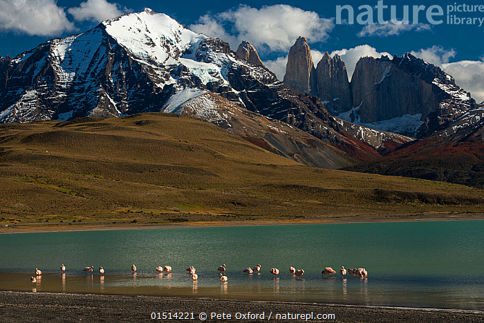 Chilean flamingo (Phoenicopterus chilensis) in Lago Azul with Torres del Paine, Torres del Paine National Park, Patagonia, Chile.  ,  high15,,Animal,Vertebrate,Bird,Birds,Flamingo,Chilean flamingo,Animalia,Animal,Wildlife,Vertebrate,Aves,Bird,Birds,Phoenicopteriformes,Flamingo,Phoenicopteridae,Phoenicopterus,Phoenicopterus chilensis,Chilean flamingo,Scale,Proportion,Colour,Blue,Turquoise,Aqua,Aqua Blue,Group,Large Group,Nobody,Snowcapped,Latin America,South America,Chile,Patagonia,Mountain,Sky,Cloud,Snow,Outdoors,Open Air,Outside,Day,Freshwater,Lake,Water,Habitat,Reserve,Protected area,National Park,Lakeside,Insignificant,Blue Colour,Torres del Paine,Lago Azul,  ,  Pete Oxford