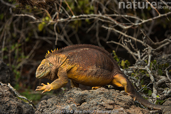 Galapagos land iguana (Conolophus subcristatus) walking, South Plaza Island, Galapagos. Endemic.  ,  high15,,Animal,Vertebrate,Reptile,Squamate,Iguana,Common Land Iguana,Animalia,Animal,Wildlife,Vertebrate,Reptilia,Reptile,Squamata,Squamate,Iguanidae,Iguana,Lizard,Conolophus,Conolophus subcristatus,Common Land Iguana,Galapagos Land Iguana,Amblyrhynchus subcristatus,Trachycephalus subcristatus,Amblyrhynchus Demarlii,Walking,Positioning,Placing,Position,Caution,Cautious,Nobody,Rough,Coarse,Uneven,Latin America,South America,Galapagos Islands,Galapagos,The Galapagos,The Galapagos Islands,Full Length,Full Lengths,Whole,Side View,Rock,Outdoors,Open Air,Outside,Day,Endemic,Biodiversity hotspot,Moving,Native Species,South Plaza Island,Endangered species,threatened,Vulnerable  ,  Pete Oxford