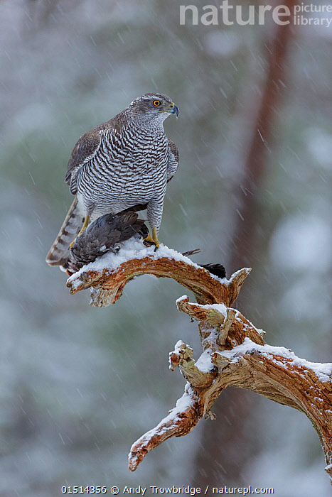 Female Northern goshawk (Accipiter gentilis) perched on a branch in falling snow, with Wood pigeon (Columba palumbus) prey, Norway, January., high15,,Animal,Vertebrate,Bird,Birds,Dove,Typical pigeon,Wood pigeon,Bird of prey,Northern goshawk,Animalia,Animal,Wildlife,Vertebrate,Aves,Bird,Birds,Columbiformes,Dove,Pigeon,Columbidae,Columba,Typical pigeon,Columba palumbus,Wood pigeon,Ring pigeon,Ringdove,Cushat,Cushie doo,Quest,Woodpigeon,Accipitriformes,Accipitridae,Accipiter,Bird of prey,Raptor,Accipiter gentilis,Northern goshawk,Goshawk,Hawk,Glance,Glances,Glancing,Look Away,Looks Away,Dead,Nobody,Europe,Northern Europe,North Europe,Nordic Countries,Scandinavia,Norway,Vertical,Front View,View From Front,Female animal,Plant,Branch,Branches,Snow,Weather,Snowing,Snowfall,Outdoors,Open Air,Outside,Winter,Day,Woodland,Bad Weather,Animal Behaviour,Predation,Forest,Death,Behaviour,Severe weather,Prey,, Andy  Trowbridge