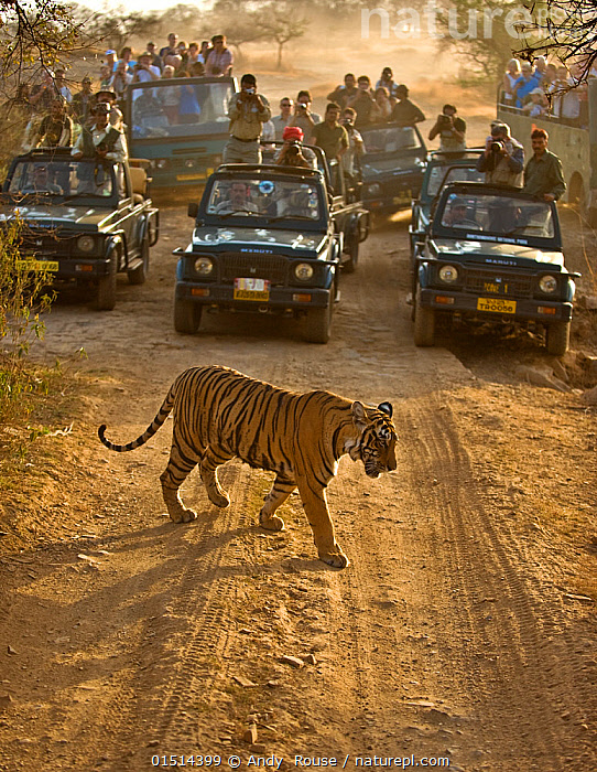 Bengal tiger (Panthera tigris tigris) with tourists watching from cars, Ranthambore, India  ,  catalogue8,,Animal,Vertebrate,Mammal,Carnivore,Cat,Big cat,Tiger,Bengal tiger,Animalia,Animal,Wildlife,Vertebrate,Mammalia,Mammal,Carnivora,Carnivore,Felidae,Cat,Panthera,Big cat,Panthera tigris,Tiger,Felis tigris,Tigris striatus,Tigris regalis,Capturing An Image,Photographing,Crossing,Crossing The Road,Walking,People,Photographer,Photographers,Photojournalist,Photojournalists,Paparazzi,Paparazzo,Spectator,Spectators,Recreation Role,Tourist,Tourists,Group,Group Of People,Crowd,Assembly,Crowds,Large Group Of People,Many,Shape,Shapes,Track,Print,Prints,Trail,Trails,Tyre Track,Tire Mark,Tire Marks,Tire Print,Tire Prints,Tire Tracks,Tread,Tire Track,Tyre Tracks,Asia,Indian Subcontinent,India,Road,Land Vehicle,Motor Vehicle,Light,Lights,Sunlight,Outdoors,Open Air,Outside,Day,Travel,Vacations,Tourism,Eco Tourism,Bengal tiger,Indian tiger,Wildlife watching,Rajasthan,Safari,Ranthambore National Park,Unimpressed,Crowded,Harassing,Endangered species,threatened,Endangered  ,  Andy  Rouse
