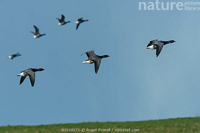 Small flock of Brent Geese (Branta bernicla) in flight..Texel Island, The Netherlands, Europe  ,  high15,,Animal,Vertebrate,Bird,Birds,Water fowl,Waterfowl,True goose,Brent goose,Animalia,Animal,Wildlife,Vertebrate,Aves,Bird,Birds,Anseriformes,Water fowl,Galloanserans,Waterfowl,Anatidae,Branta,True goose,Goose,Anserini,Anserinae,Branta bernicla,Brent goose,Brant goose,Brant,Brent,Flying,Moving After,Following,Follow,Follows,Direction,Encouragement,Encourage,Encourages,Encouraging,Freedom,On The Move,Speed,Sureness,Certain,Certainty,Sure,Teamwork,Group Of Animals,Flock,Flocking,Flocks,Group,Medium Group,Nobody,Streamlined,Sloping,Europe,Western Europe,The Netherlands,Holland,Netherlands,Plant,Grass Family,Grass,Grasses,Sky,Outdoors,Open Air,Outside,Day,Nature,Natural,Natural World,Wild,Flight,Medium group of animals,Moving,Blue sky,Purpose,Texel,Texel Island,Wildfowl,Goose,Geese  ,  Roger Powell