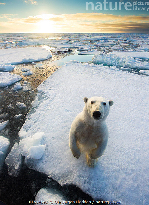 Polar bear (Ursus maritimus)  standing on ice floe, looking at camera. Svalbard, Norway. August., catalogue8,,Animal,Vertebrate,Mammal,Carnivore,Bear,Polar bear,Animalia,Animal,Wildlife,Vertebrate,Mammalia,Mammal,Carnivora,Carnivore,Ursidae,Bear,Ursus,Ursus maritimus,Polar bear,Ursus labradorensis,Ursus marinus,Ursus polaris,Standing,Thinking,Thoughtful,Curiosity,Nobody,Europe,Northern Europe,North Europe,Nordic Countries,Scandinavia,Norway,Svalbard,Arctic,Polar,High Angle View,Portrait,Horizon,Horizon Over Water,Ice,Pack Ice,Ice Floes,Ocean,Arctic Ocean,Sunrise,Outdoors,Open Air,Outside,Day,Environment,Environmental Issues,Global Warming,Greenhouse Effect,Nature,Natural,Natural World,Wild,Marine,Water,Saltwater,The Sun,Climate change,Dawn,Standing on hind legs,Elevated view,Direct Gaze,Personal point of view,Contemplation,Wondering,Sea ice,Personal POV,Endangered species,threatened,Vulnerable, Ole  Jorgen Liodden