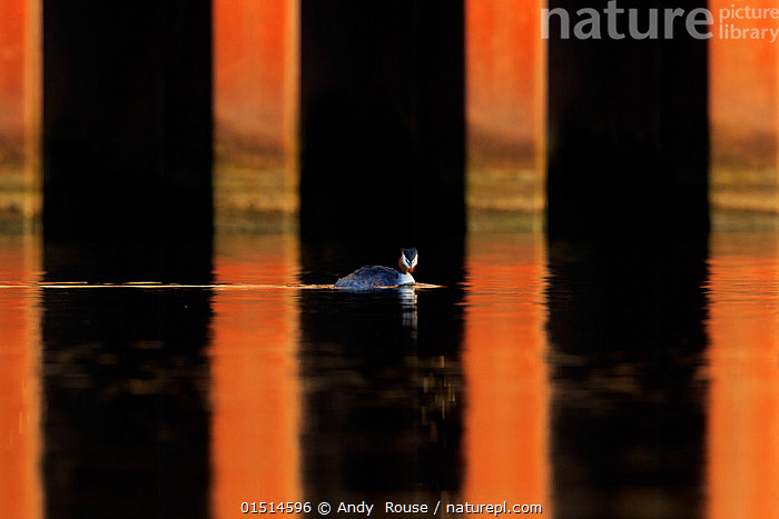 Great crested grebe (Podiceps cristatus cristatus) in urban environment Cardiff, UK, catalogue8,,Animal,Vertebrate,Bird,Birds,Grebe,Great crested grebe,Wildfowl,Water fowl,Animalia,Animal,Wildlife,Vertebrate,Aves,Bird,Birds,Podicipediformes,Podicipedidae,Grebe,Podiceps,Podiceps cristatus,Great crested grebe,Caution,Cautious,Scale,Proportion,Suspicion,Colour,Black,Orange,Nobody,Pattern,Patterned,Patterns,Stripes,Europe,Western Europe,UK,Great Britain,Wales,Outdoors,Open Air,Outside,Nature,Natural,Natural World,Wild,Freshwater,Lake,Water,Cardiff,Insignificant,Waterfowl,Wildfowl,Water fowl,, Andy  Rouse