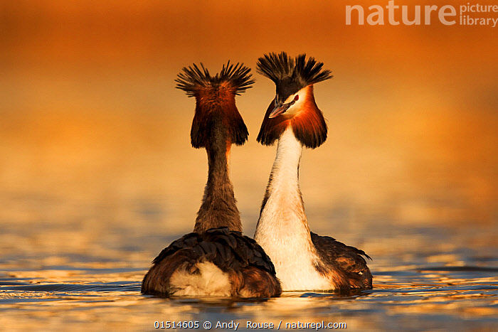 Great crested grebe (Podiceps cristatus cristatus) courtship dance, Cardiff, UK, March.  ,  high15,,Animal,Vertebrate,Bird,Birds,Grebe,Great crested grebe,Wildfowl,Water fowl,Animalia,Animal,Wildlife,Vertebrate,Aves,Bird,Birds,Podicipediformes,Podicipedidae,Grebe,Podiceps,Podiceps cristatus,Great crested grebe,Courting,Seduction,Seductions,Seductive,Face To Face,Face Each Other,Facing Each Other,Two,Nobody,Europe,Western Europe,UK,Great Britain,Wales,Close Up,Rear View,Outdoors,Open Air,Outside,Day,Animal Behaviour,Mating Behaviour,Courtship,Display,Male female pair,Behaviour,Cardiff,Displaying,Crest,Two animals,Waterfowl,Wildfowl,Water fowl,  ,  Andy  Rouse