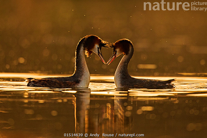 Great crested grebe (Podiceps cristatus cristatus) courtship dance at dawn, Cardiff, UK, March. Highly Commended in the Animal Behaviour Category of the BWPA Competition 2015.  ,  high15,,Animal,Vertebrate,Bird,Birds,Grebe,Great crested grebe,Wildfowl,Water fowl,Animalia,Animal,Wildlife,Vertebrate,Aves,Bird,Birds,Podicipediformes,Podicipedidae,Grebe,Podiceps,Podiceps cristatus,Great crested grebe,Touching,Touch,Courting,Atmospheric Mood,Atmospheric,Promise,Marriage,Marriages,Married,Marry,Togetherness,Close,Together,Face To Face,Face Each Other,Facing Each Other,Two,Nobody,Europe,Western Europe,UK,Great Britain,Wales,Side View,Light,Lights,Sunlight,Outdoors,Open Air,Outside,Day,Freshwater,Lake,Water,Animal Behaviour,Mating Behaviour,Courtship,Display,Male female pair,Behaviour,Competition winner,Cardiff,Displaying,Dawn,Two animals,Devotion,Waterfowl,Wildfowl,Water fowl,Photography award,  ,  Andy  Rouse
