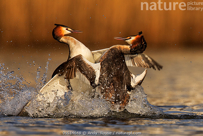 Great crested grebe (Podiceps cristatus cristatus) rival males fighting during mating season, Cardiff, UK, March.  ,  high15,,Animal,Vertebrate,Bird,Birds,Grebe,Great crested grebe,Wildfowl,Water fowl,Animalia,Animal,Wildlife,Vertebrate,Aves,Bird,Birds,Podicipediformes,Podicipedidae,Grebe,Podiceps,Podiceps cristatus,Great crested grebe,Fighting,Splashing,Rivalry,Rival,Rivals,Face To Face,Face Each Other,Facing Each Other,Two,Nobody,Europe,Western Europe,UK,Great Britain,Wales,Close Up,Side View,Male Animal,Outdoors,Open Air,Outside,Day,Freshwater,Lake,Water,Animal Behaviour,Aggression,Behaviour,Cardiff,Two animals,Waterfowl,Wildfowl,Water fowl,  ,  Andy  Rouse