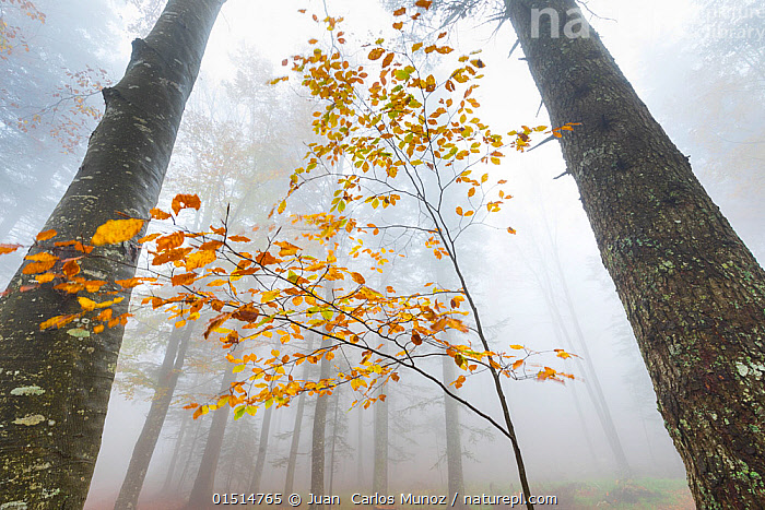 European beech forest (Fagus sylvatica) in autumn, view from below in the mist, Ilirska Bistrica, Green Karst, Slovenia, October., high15,,Plant,Vascular plant,Flowering plant,Rosid,Beech tree,European beech tree,Plantae,Plant,Tracheophyta,Vascular plant,Magnoliopsida,Flowering plant,Angiosperm,Seed plant,Spermatophyte,Spermatophytina,Angiospermae,Fagales,Rosid,Dicot,Dicotyledon,Rosanae,Fagaceae,Fagus,Beech tree,Beech,Fagus sylvatica,European beech tree,Common beech,Castanea fagus,Fagus asplenifolia,Fagus cristata,Atmospheric Mood,Atmospheric,Change,Changes,Changing,Transform,Transformation,Transformed,Transforming,Transforms,Fragility,Fragile,Mystery,Mysterious,Colour,Orange,Yellow,Nobody,Height,Tall,High,Europe,Southern Europe,Slovenia,Low Angle View,Leaf,Foliage,Tree Trunk,Tree,Mist,Outdoors,Open Air,Outside,Autumn,Autumnal,Fall,Day,Nature,Natural,Natural World,Beauty In Nature,Woodland,Forest,Low visibility,Yellow Colour,Green Karst,Ilirska Bistrica,Tree,Trees,,Beauty in nature,,,beauty in nature,, Juan  Carlos Munoz