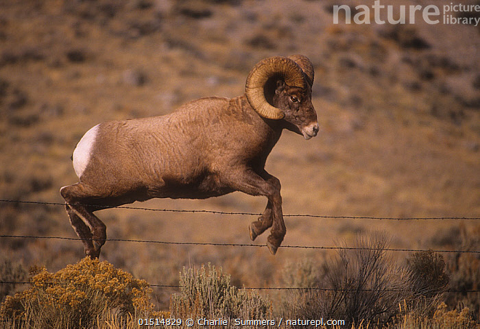 Rocky mountain bighorn (Ovis canadensis) ram jumping a barbed wire fence, Montana, USA,, high15,,Animal,Vertebrate,Mammal,Bovid,Sheep,Bighorn sheep,American,Animalia,Animal,Wildlife,Vertebrate,Mammalia,Mammal,Artiodactyla,Even-toed ungulates,Bovidae,Bovid,ruminantia,Ruminant,Ovis,Sheep,Ovis canadensis,Bighorn sheep,Jumping,Agility,Agile,Risky,Divide,Divided,Division,Mid Air,Nobody,North America,USA,Western USA,Montana,Full Length,Full Lengths,Whole,Side View,Male Animal,Ram,Rams,Boundary,Fence,Wire,Barbed Wire,Outdoors,Open Air,Outside,Day,American,United States of America,, Charlie  Summers